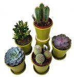 Cactus or Succulents
