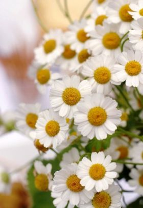 Bouquet of Cut Daisies